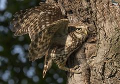 Little Owl & Owlet (Mick Erwin) Tags: owl owlet nesting branching chick fledgling feeding nikon afs 600mm f4e fl ed vr lens d850 mick erwin stoke trent staffordshire wildlife nature