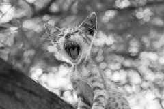 Stray kitty on a tree taking different expressions. In Nea Artaki on Euboea on July 7, 2019 (X-Andra) Tags: wildlife animal cat environment expression face feline height high kitten kitties kitty outdoor stray tree urban chalkida centralgreece greece