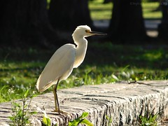 A New Day (Sophia R. Éowyn) Tags: egret fowl waterbird waterfowl sunny sunlight sunshine bird lakebird grass morning daylight nature animal