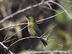 Otro picaflor chico... (Sephanoides sephanoides). (Andres Bertens) Tags: 8995 olympusem10markii olympusomdem10markii olympusm75300mmf4867ii olympusmzuikodigitaled75300mmf4867ii rawtherapee bird hummingbird sephanoidessephanoides picaflor