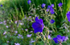 summertime blue (Rourkeor) Tags: 35mm 35mmzeisssonnartlens ayrshire carlzeiss cumnock dumfrieshouse johnsonsbluegeranium rx1r scotland sony summer uk blue bokeh depthoffield floral flowers fullframe gardens nature zeiss unitedkingdom