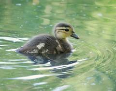 Mandarin duckling (PhotoLoonie) Tags: aixgalericulata mandarinduck duckling bird waterbird wildlife nature perchingduck