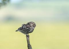 AG6X0334 (Nigey2) Tags: owl owls wildlife wild wildbirds raptor raptors bird birds birdofprey little