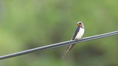 Låvesvale (Lars Emil J) Tags: swallow barn svale norge norway cable hirundo rustica bird fugl sommer summer nikon nikkor 200400mm nature låvesvale