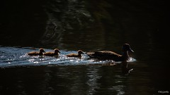 Cute family 😊 (Geeth67) Tags: ducks duck bird birds water dam nature canon shots lighting family