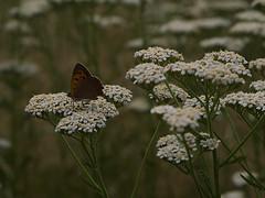 Wiesen-Scharfgabe mit Kleiner Feuerfalter (ingrid eulenfan) Tags: wiesenscharfgabe kleinerfeuerfalter natur nature wiese feld schmetterling sigma60mmf28 60mm sonyalpha6000 butterfly