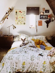 (yaydreams) Tags: tacoma dog indoors natural singlight light window chihuahua apartment floral comforter bedroom portrait pet animal simple quiet yellow bright decor room bed blankets pillows cozy