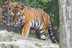 Sayan menacingly looking at me (Tambako the Jaguar) Tags: tiger big wild cat male siberian amur looking menacing standing posing rock stone tree trunk vegeation leaves portrait face zürich zoo switzerland nikon d5