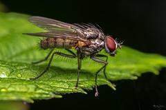 Fly (Shane Jones) Tags: fly insect diptera compoundeye nature wildlife nikon d850 55mmf28micro pk3extensiontube pk3x2 macro macrolife macrophotosnolimits macrolicious