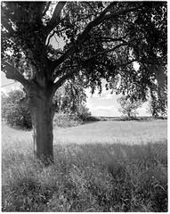 In the shade of the beech tree (jhotopf) Tags: intrepid4x5 film analogue monochrome blackwhite noiretblanc blancoynegro tmax100 fx39 largeformat 4x5 flaxton beech northyorkshire gb uk schneiderkreuznach aposymmar135mmf56