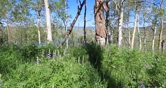 Up Here Solo (Robert Cowlishaw (Mertonian)) Tags: hiking mertonian robertcowlishaw ineffable awe wonder panoramic summer2019 aspens beautiful beauty canon powershot sx70hs canonpowershotsx70hs wilderflowers purple 4wisdom