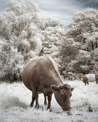 Colour Infrared Cow (GeorgeKBarker) Tags: cow cows infrared 720 720nm field grass glow graze eating farm spectrum colour false faux