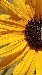 Lonesome1 (TyroCharm) Tags: flowers nature flora yellow sunflower summer spring tyrocharm wildflowers fall lakeisabella floweroftheday garden