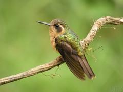Speckled Hummingbird (Adelomyia melanogenys) (Luis G. Restrepo) Tags: trochilidae p3960209 colibrípechipunteado speckledhummingbird adelomyiamelanogenys ave bird birdwatching manizales caldas colombia southamerica