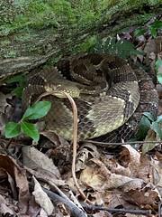 I'm Watching You! (blackwell.tina) Tags: nature wildlife pawildlife pawilds woods pennsylvania rattlesnake snake