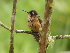 Speckled Hummingbird (Adelomyia melanogenys) (Luis G. Restrepo) Tags: trochilidae p3960258 colibrípechipunteado speckledhummingbird adelomyiamelanogenys ave bird birdwatching manizales caldas colombia southamerica