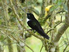 Collared Inca (Coeligena torquata) (♂) (Luis G. Restrepo) Tags: trochilidae p3960762 bird birdwatching ave hummingbird colibrí manizales caldas colombia southamerica