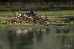 Nesting Coot 2019 (TheArtOfPhotographyByLouisRuth) Tags: coot duck pond animal wildlife perfectcomposition bird amazingcapture bokeh water prophoto perspective nikon200500mmf56 nikond810 allanimals