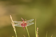 Dragon Fly (Zawodowy Fotograf) Tags: dragon fly nature bug bayonne rutkowski park hudson county new jersey canon 5d mark iii 100400 l