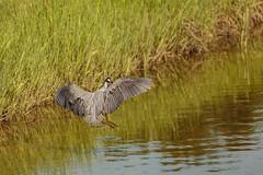 Blue Heron Landing (Zawodowy Fotograf) Tags: blue heron bayonne new jersey hudson county rutkowski park nature canon 5d mark iii 100400 l