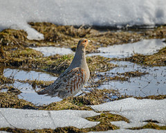 Gray Partridge 20190320_3544 (GORGEous nature) Tags: winter snow male bird water washington spring scenic exotic vertebrates introduced perdixperdix graypartridge klickitatco march ©johndavis