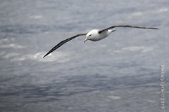 Black-browed Albatross (karenmelody) Tags: animal animals albatross bird birds antarctica vertebrate vertebrates blackbrowedalbatross thalassarchemelanophris tubenoses procellariiformes diomedeidae