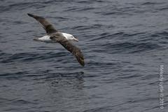 Black-browed Albatross (karenmelody) Tags: bird birds animal animals antarctica albatross vertebrate vertebrates blackbrowedalbatross thalassarchemelanophris tubenoses procellariiformes diomedeidae