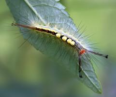 Rusty Tussock Moth Caterpillar (arlene sopranzetti) Tags: rusty tussock moth caterpillar buena new jersey summer macro insect