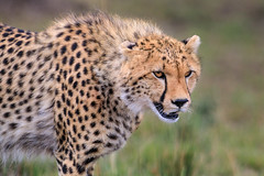 Amani's Cub (Xenedis) Tags: acinonyxjubatus africa afrika animal bigcat cat cheetah cub duma eastafrica grass kenya maasaimara maranorthconservancy narokcounty plains republicofkenya riftvalley safari savannah wildlife