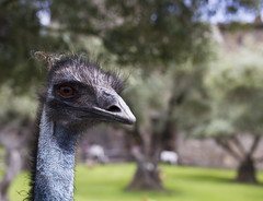 Emu (Dwine76) Tags: emu dromaiusnovaehollandiae bird ostrich big calistoga california castellodiamorosa winery napa county closeup castle australia wildlife