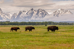 Three Bison at Grand Teton National Park (Dr. Ernst Strasser) Tags: ifttt 500px grand teton national park parks 2014 places travel usa wyoming bison ernst strasser unternehmen startups entrepreneurs unternehmertum strategie investment shareholding mergers acquisitions transaktionen fusionen unternehmenskäufe fremdfinanzierte übernahmen outsourcing unternehmenskooperationen unternehmensberater corporate finance strategic management betriebsübergabe betriebsnachfolge grandtetonnationalpark nationalparks2014 moran unitedstates