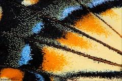 Tiger Swallowtail Wing Detail (Daniel Cadieux) Tags: butterfly swallowtail tigerswallowtail wing detail macro