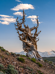 Fujifilm GFX 100 Medium Format Mirrorless Camera at Ancient Bristlecone Pine Forest White Mountains California! Elliot McGucken Fine Art Landscape & Nature Photography! Fujifilm GF 100-200mm f/5.6 R LM OIS WR Zoom Lens Fujinon! (45SURF Hero's Odyssey Mythology Landscapes & Godde) Tags: fujifilm gfx 100 medium format mirrorless camera ancient bristlecone pine forest white mountains california elliot mcgucken fine art landscape nature photography fujinon gf 23mm f4 r lm wr lens for format‎ 100200mm f56 ois zoom