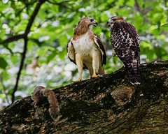 Adult and juvenile Red-Tailed Hawks with parent's kill (johnny4eyes1) Tags: birding hawk nature ornithology birds woodland nybotanicalgarden wildlife redtailed park hiking woods outdoors parks fauna raptor birdwatching redtailedhawk