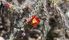 Flowering Cholla (zeesstof) Tags: zeesstof vacation arizona tucson desert gatespasstrail cylindropuntiaspp cacti cholla flower blossom