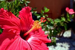 Radiant Hibiscus At Florida Home - IMRAN™ (ImranAnwar) Tags: bokeh d850 nikon tampabay closeup water apollobeach florida sunlight seaside red bloom hibiscus flowers botany green imrananwar lifestyle petals imran unitedstatesofamerica