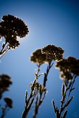 DSC08251 (stay.fitz) Tags: olympus om gzuiko autow 35mm f28 sony a7riii olympusomgzuikoautow35mmf28 sonya7riii wildflower wildflowers
