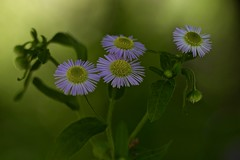 Tiny Daisy (Diane Marshman) Tags: daisyfleabane daisy fleabane tiny daisies wildflowers native perennial wildflower summer blooming tall garden wild flower plant green leaves small lavender purple petals yellow center buds pa pennsylvania nature blooms blossoms macro closeup