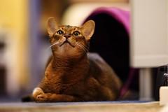 LizZie (DizzieMizzieLizzie) Tags: sony a7iii ilce7m3 fe 135mm f18 gm dof bokeh golden classic pose ilce chat gatos neko pisica meow kot katze katt gatto gato feline cat portrait dizziemizzielizzie lizzie aby abyssinian