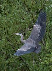 GBH | Marymoor (sunrisesoup) Tags: bird nature marymoorpark marymoor redmond wa usa summer lakesammamish gbh greatblueheron northwest