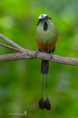 Turquoise-browed Motmot (Mario Arana G) Tags: 7d ave bird birding cr canon costarica florayfauna guanacaste marioarana nature naturephotography photography turquoisebrowedmotmot wildlife wildlifecostarica