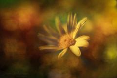 Sunday Still Life (Dave Whiteman - AU) Tags: garden plant lensbabyvelvet56 flowers nature flower things daisy yellowdaisy floral stilllife studio