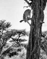Headed down (ms2thdr) Tags: africa safari tanzania wildeye leopard