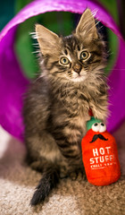 Welcome Brodi! (Amazing Aperture Photography) Tags: cat kitten baby feline meow cute adorable cuddly fur face portrait sony sonya6000 adopt family love sweet eyes nose whiskers stripes animal mammal babyanimal young playful toy
