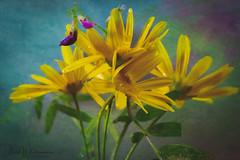 Sundancers (Dave Whiteman - AU) Tags: stilllife plant lensbabyvelvet56 flowers nature floral things floraldisplay flower yellowdaisy garden