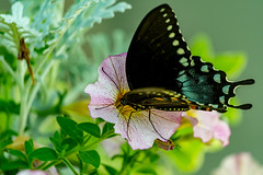 Black Swallowtail (ramseybuckeye) Tags: black swallowtail butterfly flowers nectar pollen clarksville tennessee pentax life art