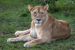 Cheli Pride Lioness at Rest (Xenedis) Tags: africa afrika animal bigcat bigfive cat chelipride eastafrica gamedrive kenya lion lioness maasaimara maranorthconservancy narokcounty pantheraleo republicofkenya riftvalley safari simba wildlife