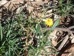 Xerochrysum viscosum (stitchingbushwalker) Tags: groaninggully xerochrysumviscosum xerochrysum