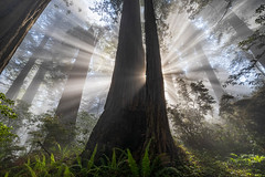 Glory Rays (Kirk Lougheed) Tags: california damnationcreektrail delnortecoastredwoods delnortecoastredwoodsstatepark delnortecounty sequoiasempervirens usa unitedstates coastredwood coastalredwood crepuscularrays forest landscape outdoor redwood sky spring sunbeam tree