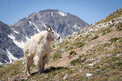 Mountain Goat and Wheeler Mountain (Christopher J May) Tags: 14er animal colorado nature pentaxkx pentaxm135mmf35 quandarypeak hike landscape mountain mountaingoat portrait explore explored